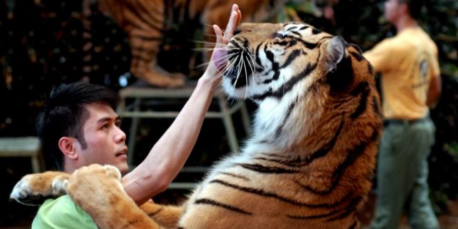 Ilustrasi Pawang Harimau